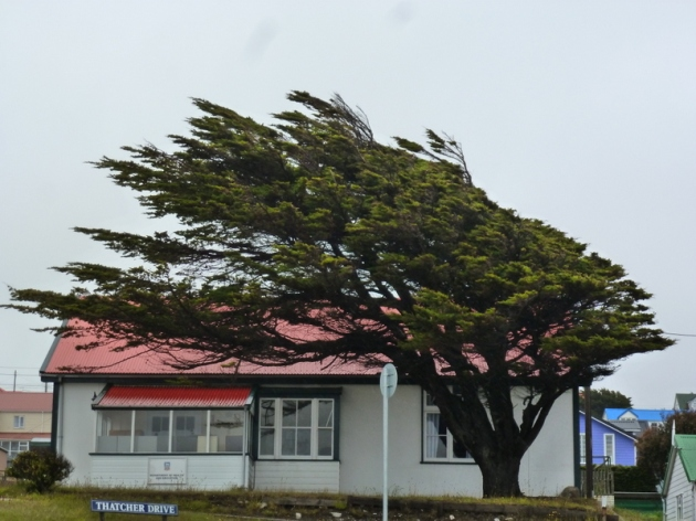 Wind swept tree found on Falkland islands